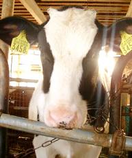 牛(ホルスタイン種)